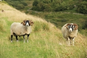 sheep_two