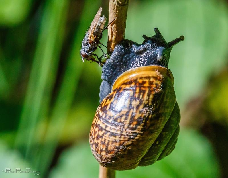 snail_fly