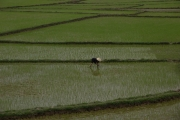Planting rice along the Ho Chi Minh trail