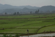 Cycling past rice farmers