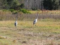 sandhill_crane_conner_preserve_florida