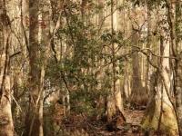 starkey_park_cypress_trees
