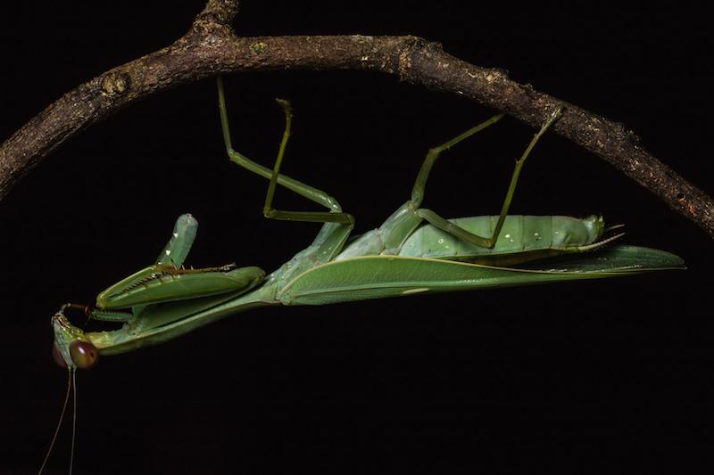 praying mantis hanging from a twig copy