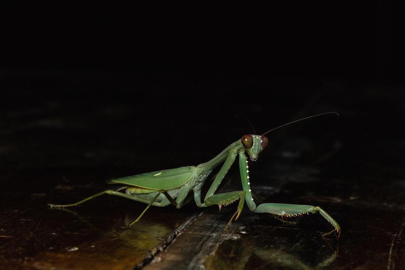 praying mantis walking on table copy