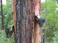 pine_sap_close_up