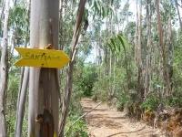 santiago_eucaliptus_trees