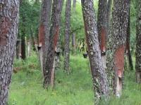 terpentine_trees