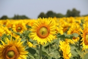 sunflowerfield