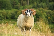 sheep_closeup