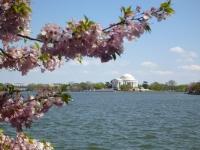 jefferson_memorial_cherry_blossom