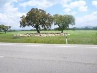 sheep_spain