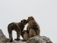 apes_kissing