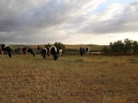 cows_scenic