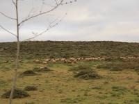 sheep_herd