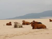 cows_beach