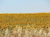 spain_sunflowers