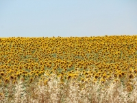 spain_sunflowers