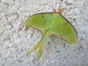 big_moth