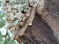 cork_tree_bark