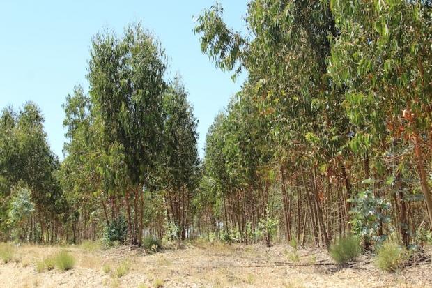eucalyptus_trees