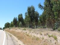 ron_eucalyptus_trees