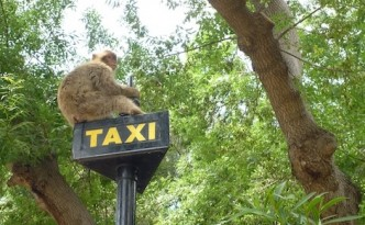 Gibraltar ape on a taxi sign